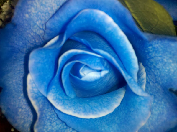exotic flowers  boston's premier florist blog  blue roses, Beautiful flower