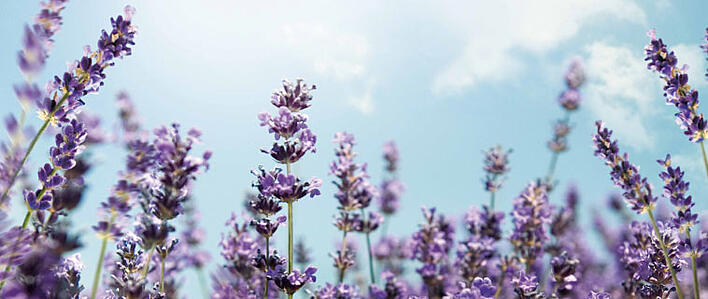 the meaning of lavender, Natural flower