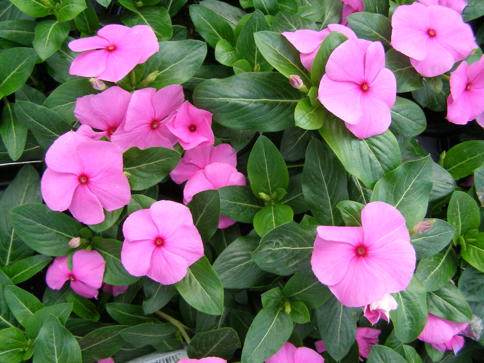 periwinkle_plant_meaning.jpg