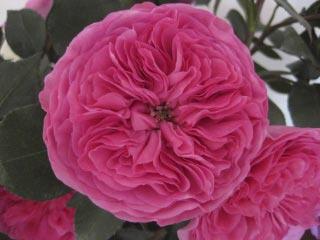 baronesse garden rose boston florist