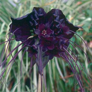 bat flower resized 600