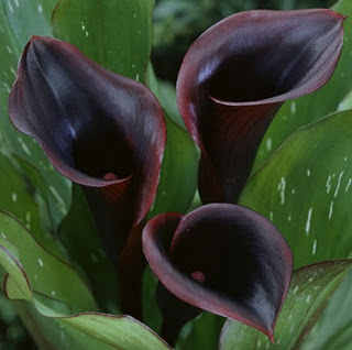 BlackCalla2 resized 600