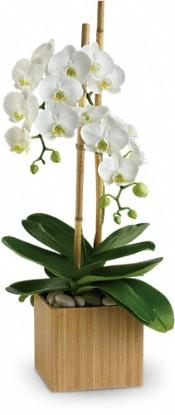 Boston Orchids