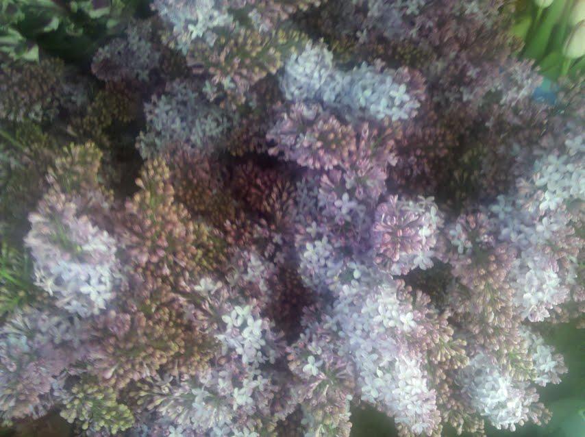 Lilacs in Boston