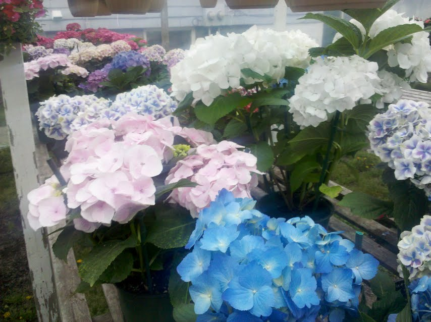 Hydrangeas In Boston