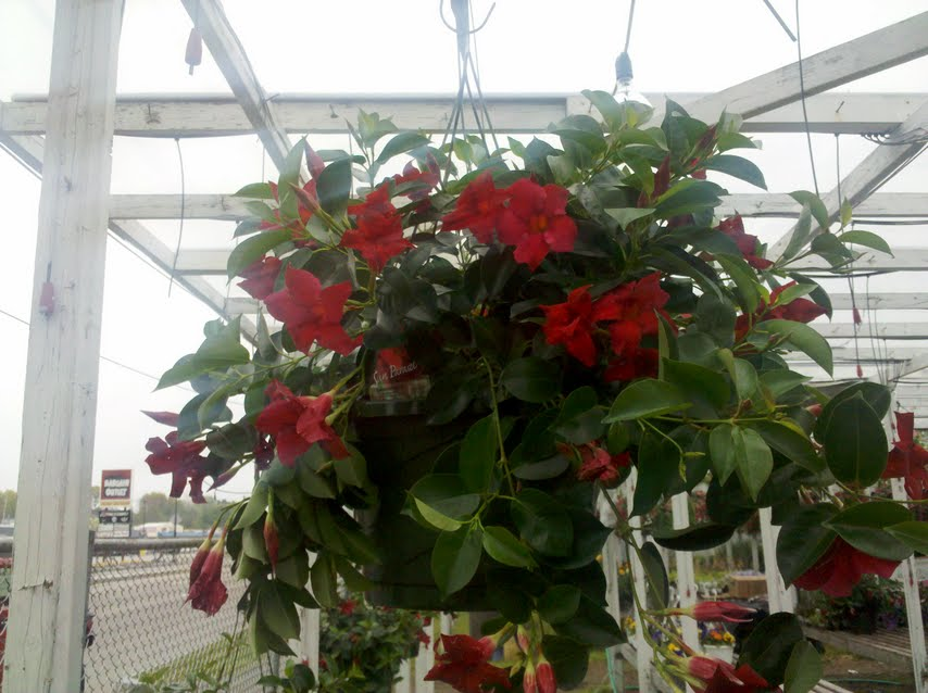 Diplodena Hanging Plant in Boston