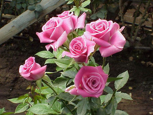 Purple SKy Spray Rose
