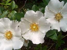 CHEROKEE ROSE resized 600