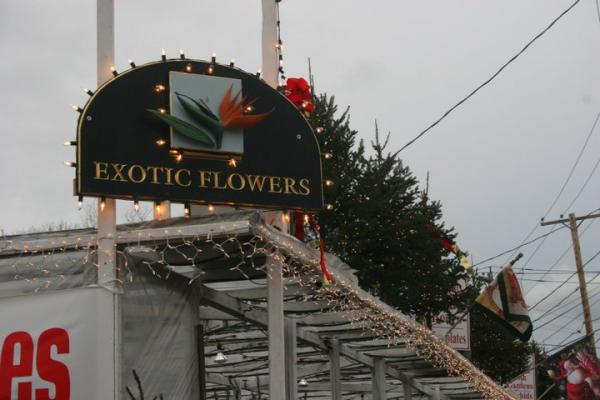 christmas_trees_in_boston-resized-600.jpg