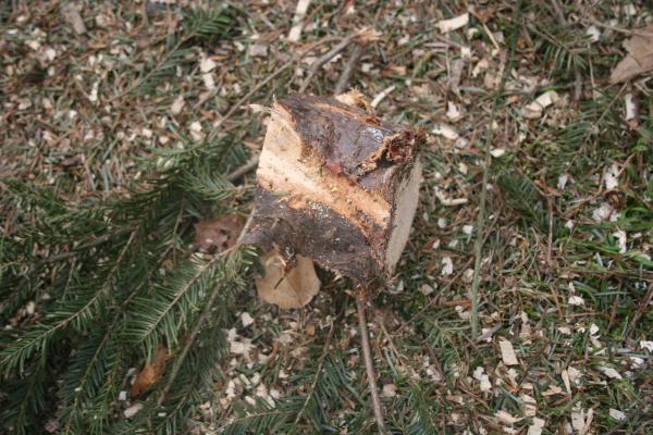 Boston Christmas Tree Uses