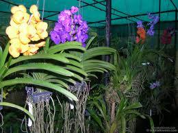 ORCHID PLANTS IN BOSTON resized 600