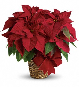 poinsettia boston resized 600