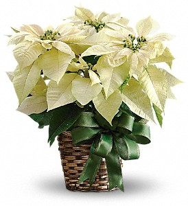 white poinsettia boston resized 600