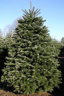 Christmas Trees in Boston