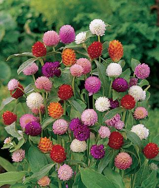 GOMPHRENA SEUSS FLOWERS resized 600