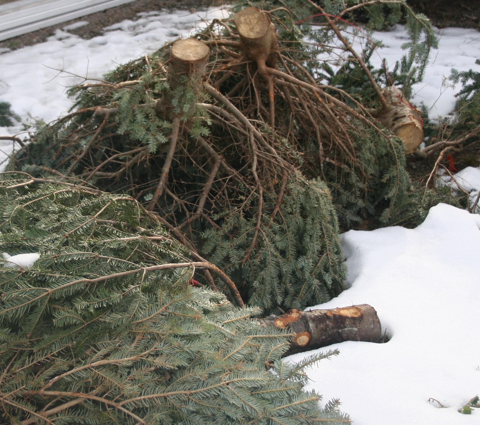 Christmas tree disposal Boston