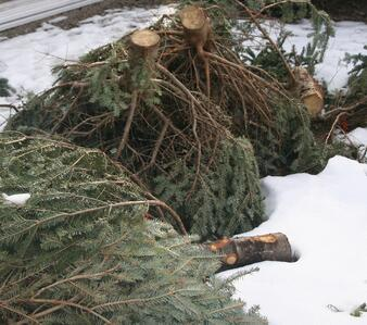 Christmas tree disposal Boston