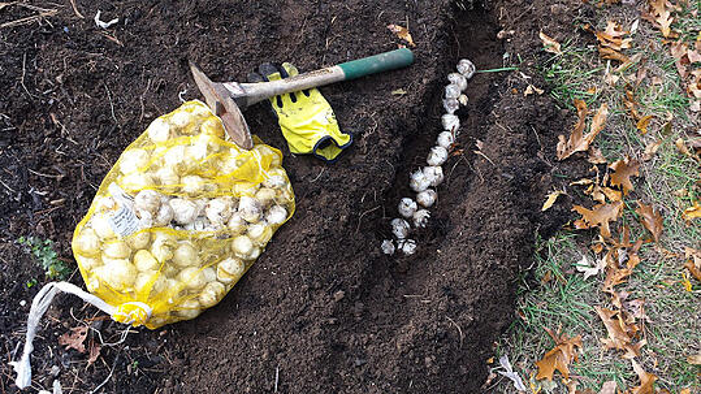 planting bulbs in boston