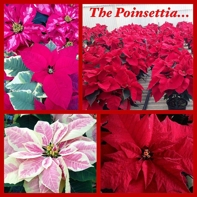Poinsettias in Boston