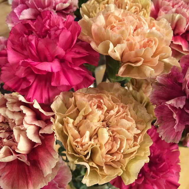 carnations meaning
