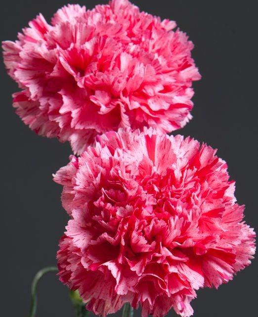 carnations symbolism