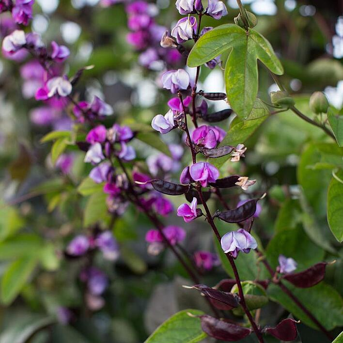 Floret_Hyacinth-Bean_Ruby-Moon_IMG_6802_768x.jpg