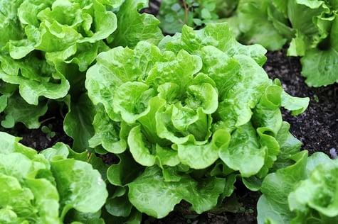 Lettuce-in-garden1