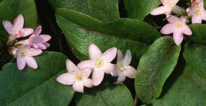 MA-state-flower-mayflower-P.jpeg