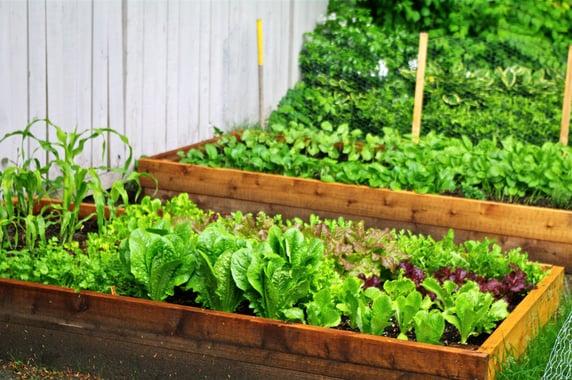 Raised-Bed-Salad-Greens