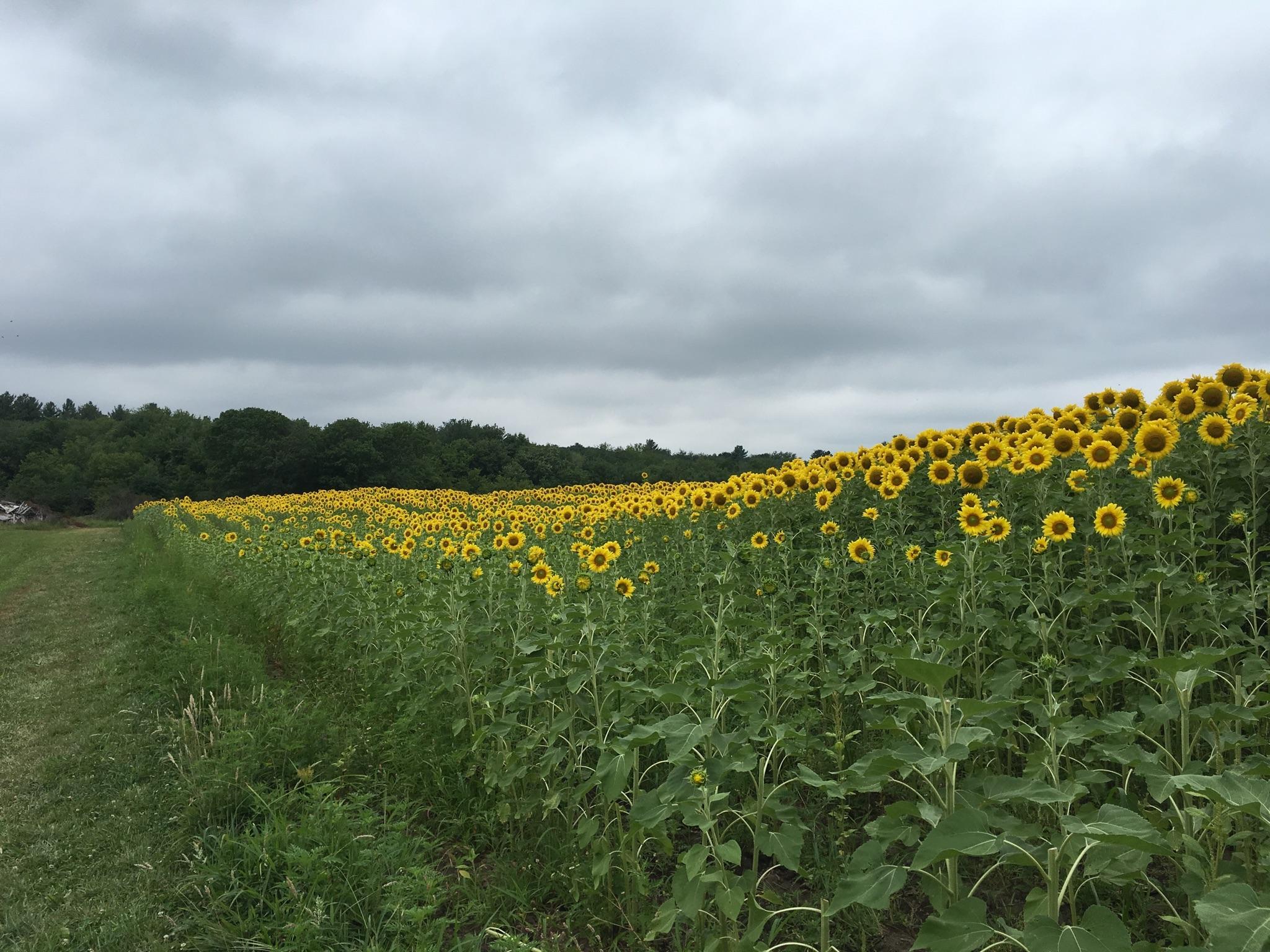 Sunflower_picking.jpg