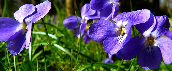 The Symbolic Meaning Of The Blue Violet
