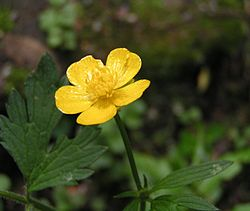 butter cup flower.jpg