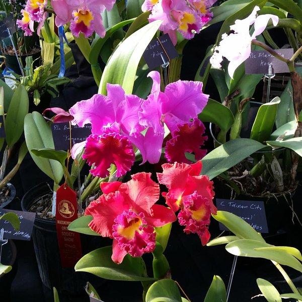 catteleya_orchid.jpg