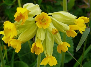 cowslip_meaning.jpg