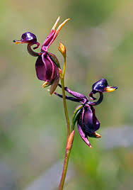 duck_orchid.jpe