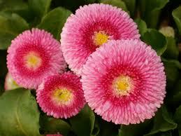 enlgish daisy.jpeg