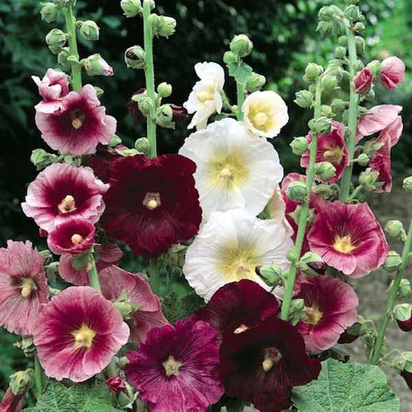 hollyhock-indian-spring-mix-single-flowers2x.jpg