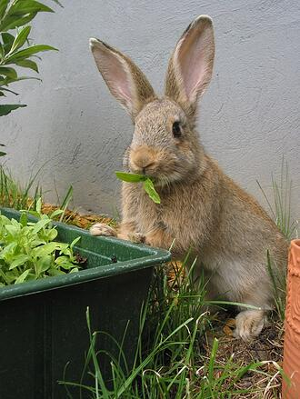 how-to-keep-rabbits-out-of-garden-rabbit-control-stop-rabbits2