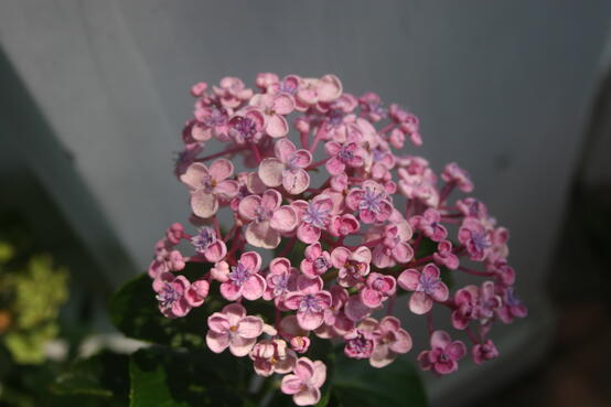 popcornhydrangea