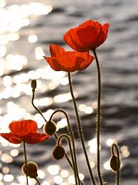 poppies.jpe