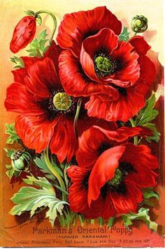 What is the meaning of a poppy flower another significant tie that the poppy is associated with is remembering the dead particularly when speaking with those who had fallen during world war i mightylinksfo
