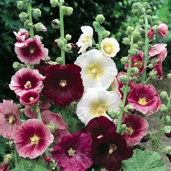 hollyhock-indian-spring-mix-single-flowers2x.jpg