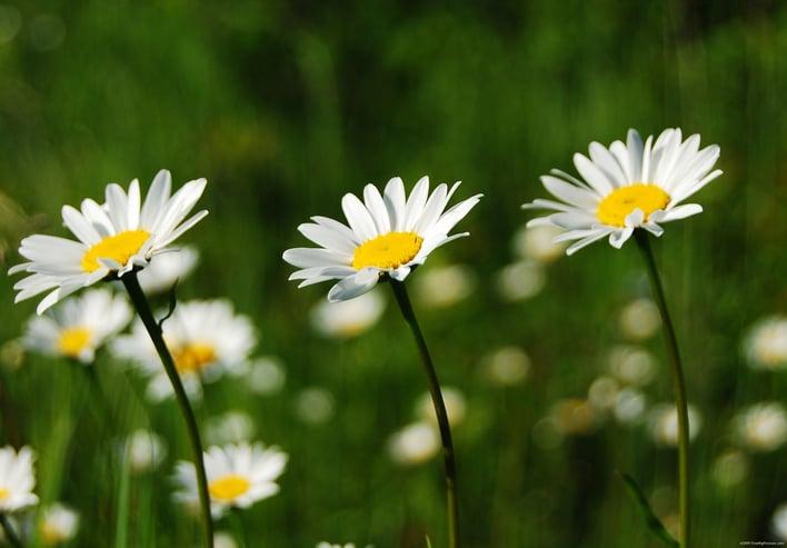 white-daisies.jpg