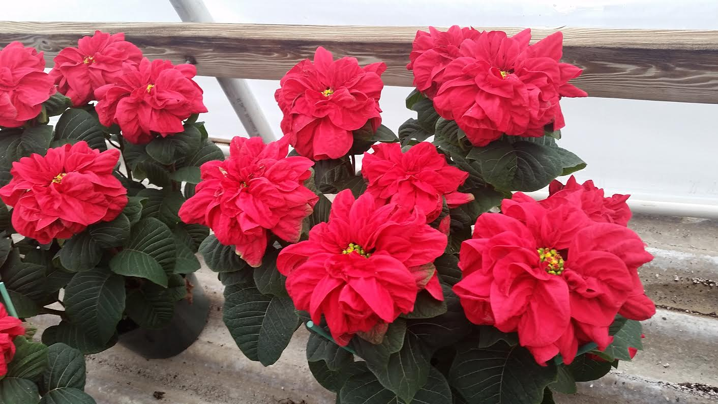 winter rose poins.jpg