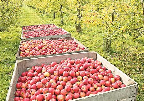 Apples_1983157c